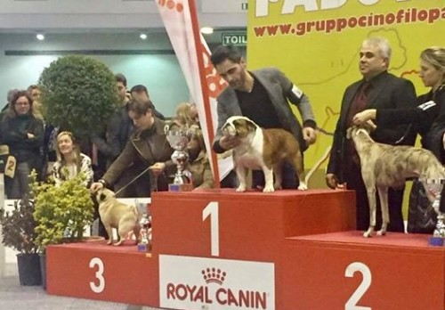bull-and-grapes-dazzling-chick-padova-international-dog-show-1