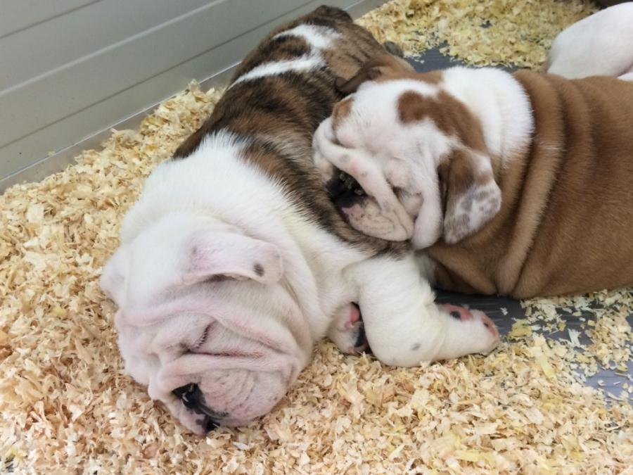 puppies-cuccioli-bulldog-bull-and-grapes-rovereto-9